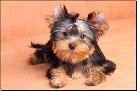 best shoo for yorshireterrierpuppies filhotes de yorkshire terrier