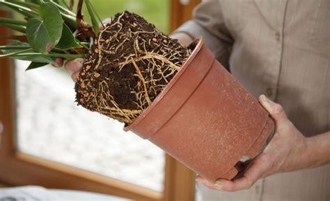 Zimmerpflanzen Die Wenig Licht Benötigen by Zimmerpflanzen Umtopfen Zimmerpflanzen Umtopfen