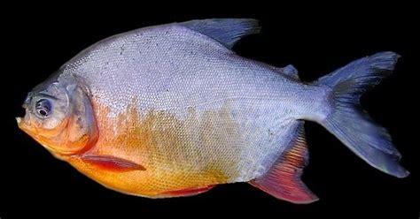 mengenal umpan jitu mancing ikan bawal
