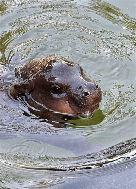 Baby Wear Hippo Swim hippo swim pic from zooborns http www zooborns typepad zooborns hippo ツ your