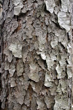 bark cork cliff lamere