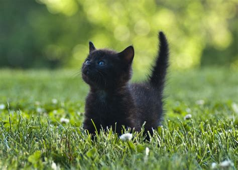 10 awesome black cat facts