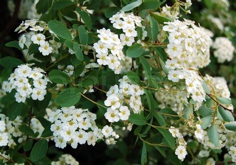 spiraea alpine spring flower white flowering shrub stock photo colourbox