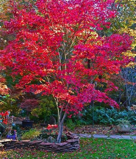 the 25 best japanese maple trees ideas on pinterest japanese maple garden ideas with