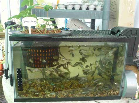 backyard tilapia aquaponics tilapia a great choice for your aquaponics systems