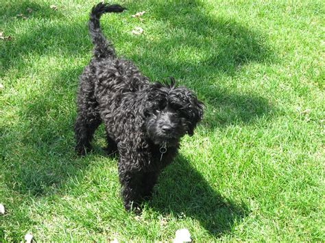 mini goldendoodles washington state resized miniature goldendoodle breeders in