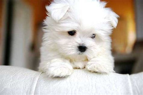 west virginia puppies beautiful maltese puppies for adoption for sale from kanawha west virginia adpost
