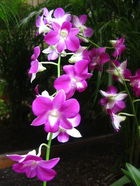 orchids facts flowers facts about orchids and orchid care