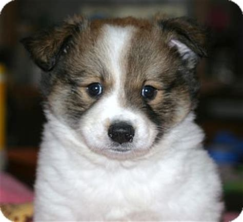 australian shepherd pomeranian mix puppies for sale pomeranian mini australian shepherd mix for sale pomeranian australian