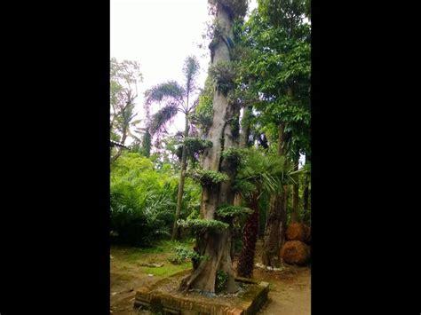Jual Bibit Indigofera Di Semarang jual pohon pule di semarang jawa tengah