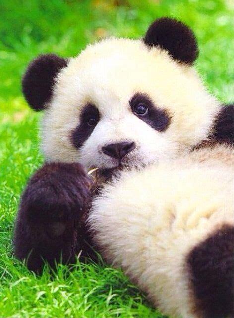imagenes de kung fu panda cuando era bebe m 225 s de 25 ideas incre 237 bles sobre pandas en pinterest