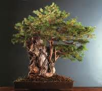 bonsai da interno elenco piante e fiori i bonsai