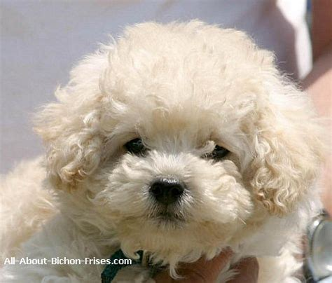 Bichon Shedding by List Of Small Breeds That Are Popular All About