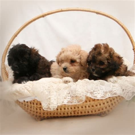 shih tzu puppies amarillo shih tzu poodle 2009 spruce ridge kennels breeds picture