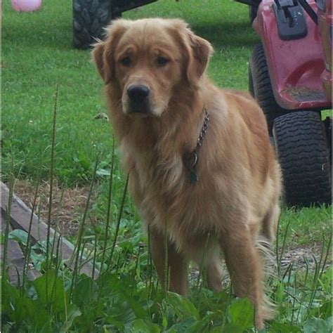 golden retrievers for sale in wv puppies for sale golden retriever including american etc golden