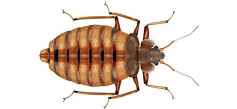 exterminator for bed bugs bed bug exterminator west chicago suburbs