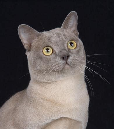Gc Laki burma carm cats