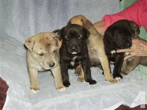 labradane puppy labradane great dane lab mix info puppies and pictures