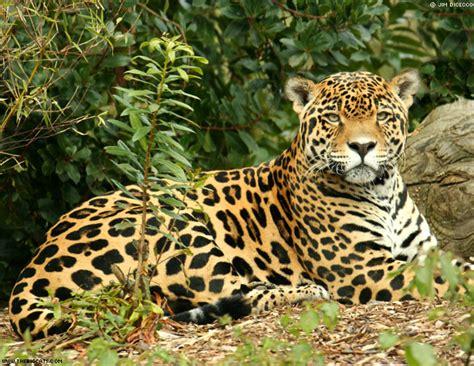 jaguars rainforest rainforest