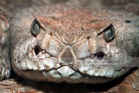 Western Diamondback Rattlesnake Poisonous Snake Head ... Western Diamondback Rattlesnake Head