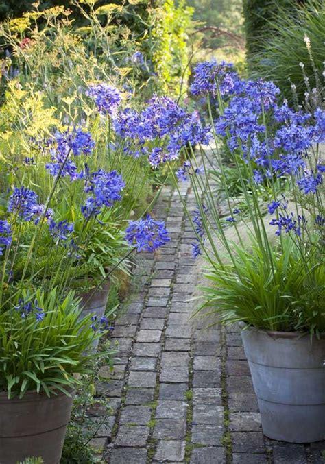 25 best ideas about agapanthus blue on pinterest