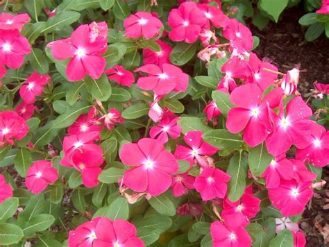 Low Height Bed Online Plant Guide Catharanthus Roseus Titan Rose