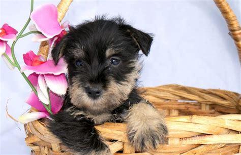 black schnauzer puppies for sale black silver miniature schnauzer puppies for sale
