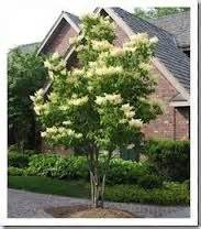 10 best trees for small yards how does my garden grow