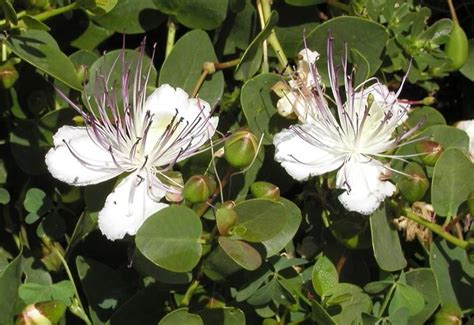 fiore di cappero fiore di cappero aromatiche caratteristiche fiore