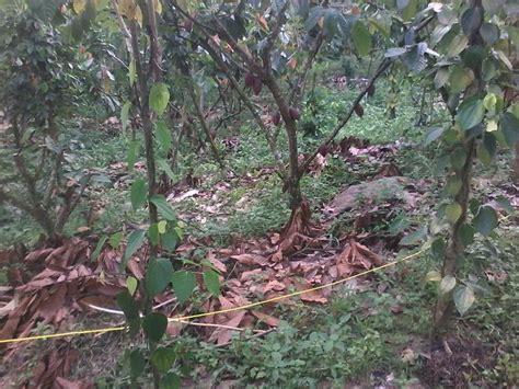 Bibit Alpukat Boyolali jual bibit kakao sambung pucuk sulawesi barat beranda