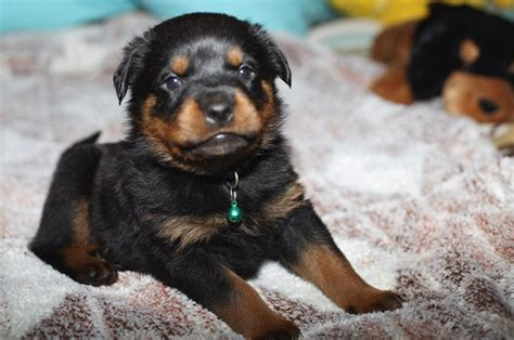 small rottweiler small rottweiler puppy image jpg 2 comments