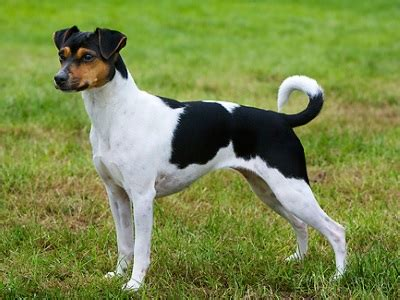 Brazilian Terrier Info, Puppies, Personality and Pictures