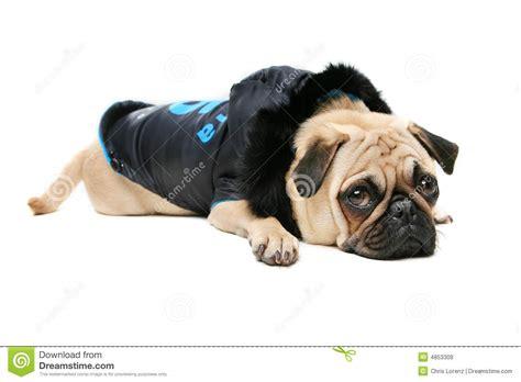 guilty pug guilty pug royalty free stock photos image 4853308