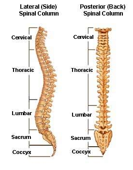 spinal column diagram anatomy of the spine and vertabrae