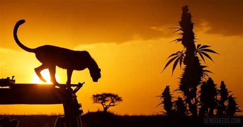 In Kenya cannabis in kenya