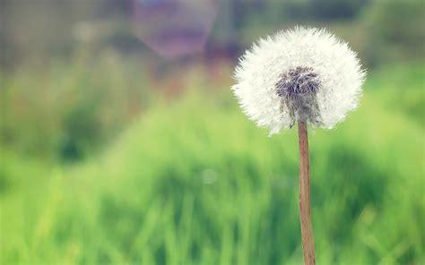 wallpaper flower dandelion dandelion 4229389 2560x1600 all for desktop