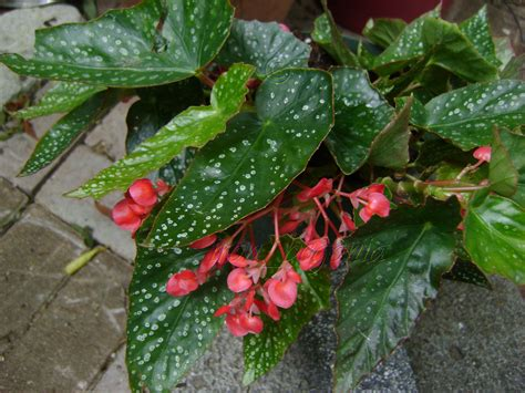 angel wing begonia snow capped has medium size leaves the leaves have small silvery white