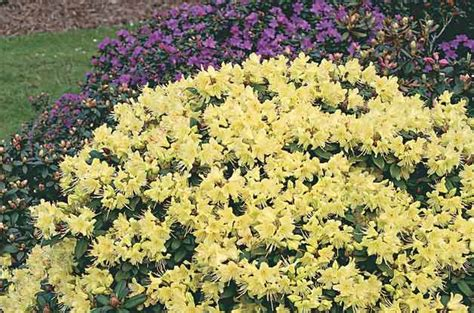 flowering shrubs for zone 9 top 10 flowering shrubs flowering bushes birds blooms