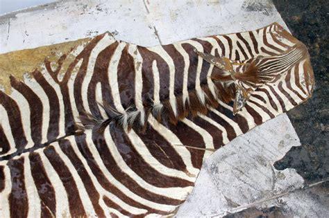antique zebra skin rug at 1stdibs