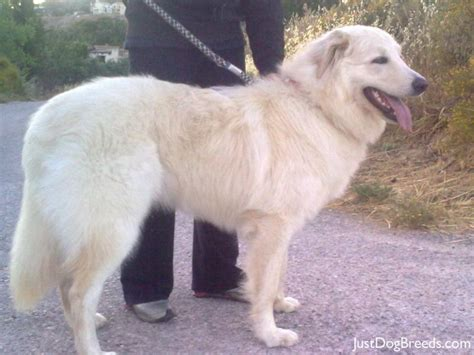 pictures of great pyrenees dogs xionati great pyrenees breeds