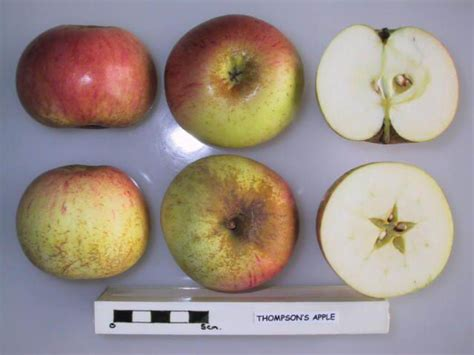 thompson cross section datei cross section of thompson s apple national fruit