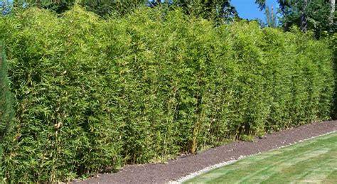 bambus hecke schneiden bambus pflanzenshop bambus als gr 252 ner sichtschutz