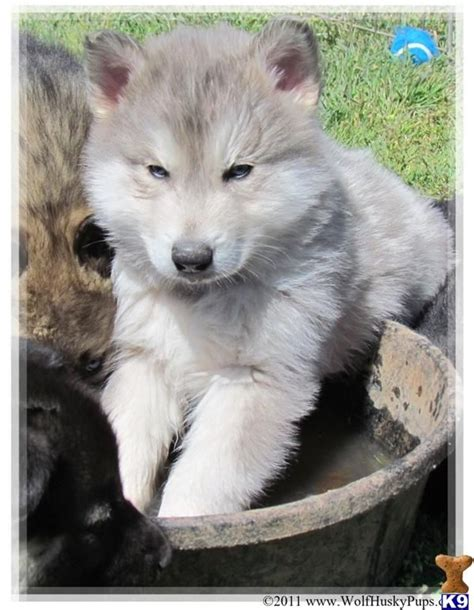 hybrid wolf puppies for sale black wolf hybrids for sale blue silver wolf hybrid pups a wolf pup for