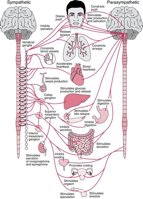 Nervous About Background Check 25 Best Ideas About Central Nervous System On