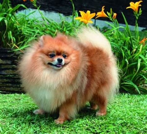 how much should a pomeranian weigh the pomeranian information center