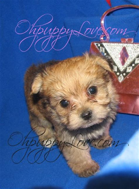 morkie puppies for sale mn shorkie teacup puppies for sale in ga breeds picture