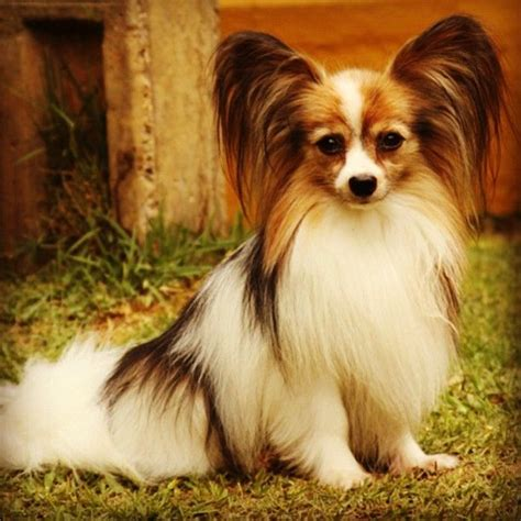 Petit Papillon Baby Sale by 1127 Best Images About Papillons On