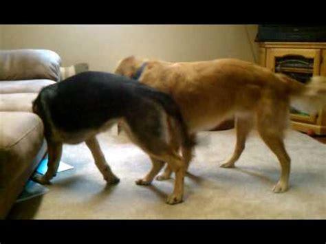 german shepherd vs golden retriever prince golden retriever vs ali german shepherd
