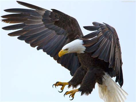 google images eagle eagle wings google 搜尋 animals pinterest eagle