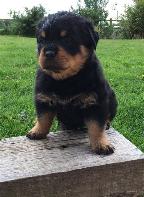 puppies for sale in pa 100 rottweiler puppies for sale pennsylvania turnpike pa 198514